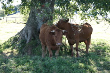 two cows and oak tree
