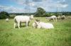 Sheep Scene